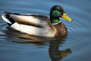 If it looks like a duck